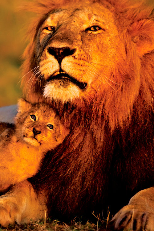 Poster Tiere - Lion And Cub